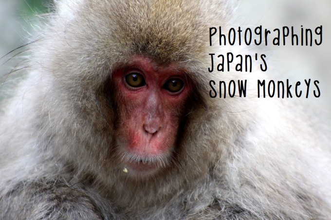 Japan: Photographing Wild Snow Monkeys, My Favorite Thing I've Ever Done